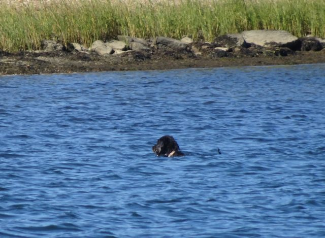 A black lab swimming in the anchorage. Not so wild, but certainly in the water.